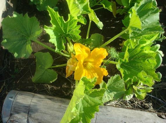 Что делать, если кабачки цветут, а завязи нет