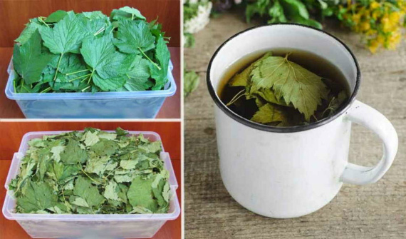 Как применять смородиновые листья в народной медицине