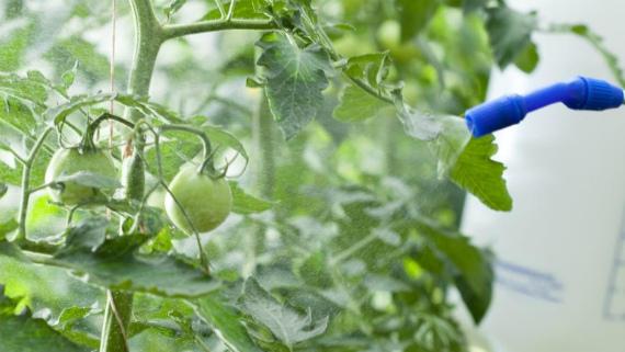 Основные правила обработки томатов