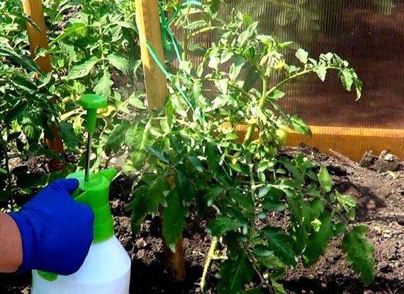 Когда и как применять внекорневые подкормки для томатов