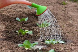 Чем удобрять капусту при посадке