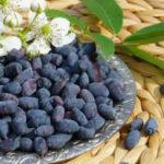 Ягоды жимолость — полезные свойства и противопоказания