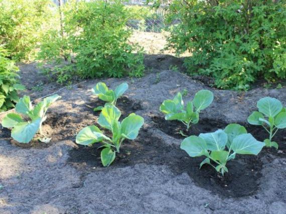 Чем подкормить капусту в открытом грунте для роста