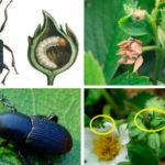 Вредители клубники: описание и способы борьбы
