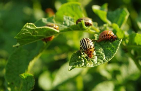 Колорадский жук – описание вредителя