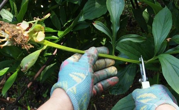 Когда нужно обрезать пионы после цветения