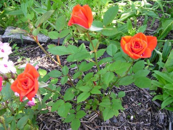 Когда зацветут укоренившиеся розы