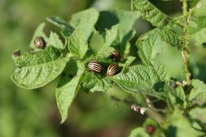 Как избавиться от колорадского жука на картошке народными средствами Фото Видео