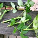 Размножение роз черенками летом