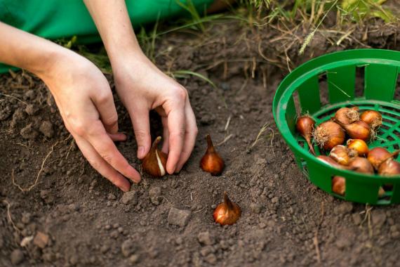 Посадки тюльпанов в открытый грунт осенью