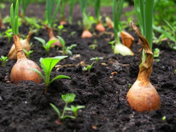 Как определить, что лук-севок пора выкапывать