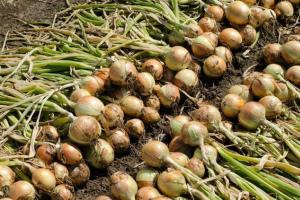 Когда убирать лук в Подмосковье в 2019 году, как правильно подготовится к уборке урожая