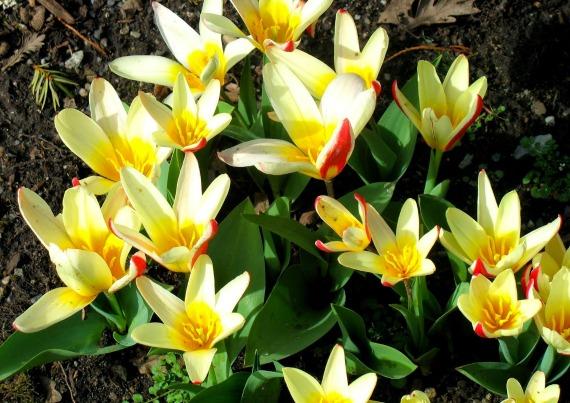 Сорт тюльпанов Иоганн Штраус