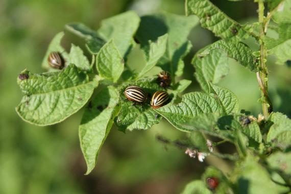 Чем обусловлены трудности борьбы с такими насекомыми