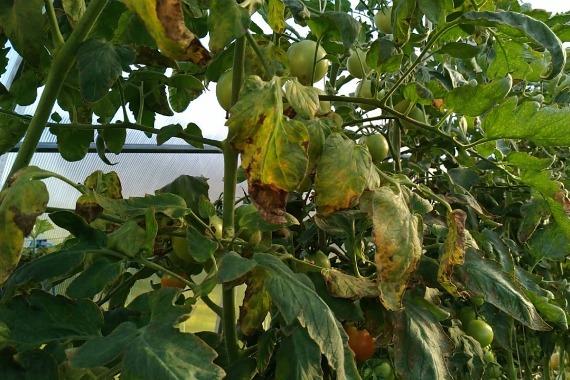 Почему возникает это заболевание на помидорах