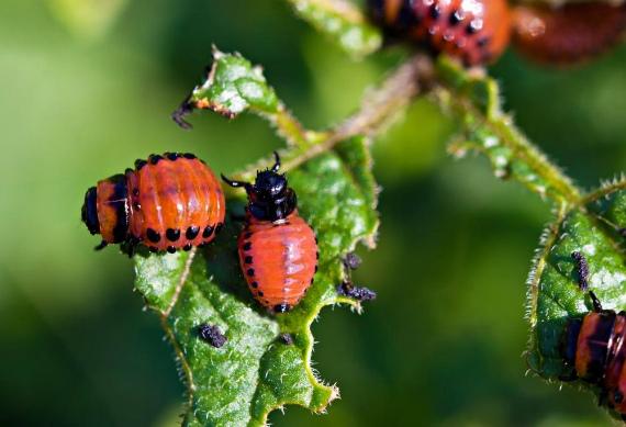 Как избавиться от колорадского жука на картошке без химии