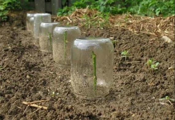 Укоренение черенков летом в открытый грунт - традиционный способ