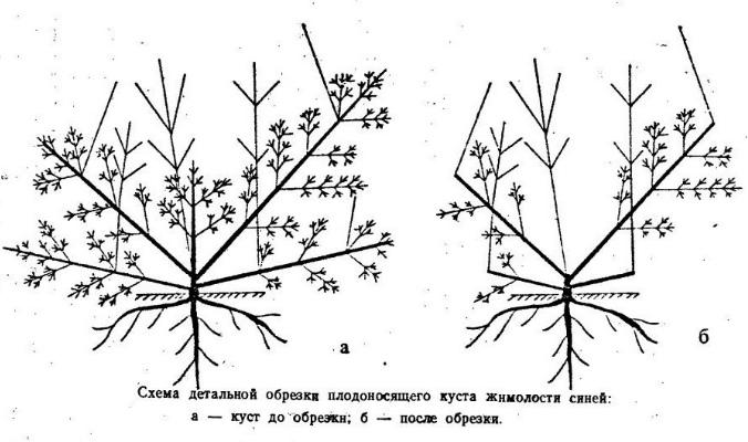 Схема обрезки в зависимости от стадии роста куста