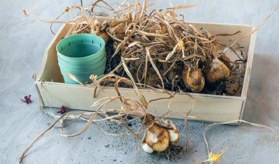 Как хранить луковицы нарциссов до посадки