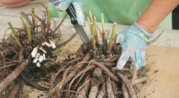 Когда можно пересаживать пионы после цветения