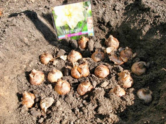 Когда сажать луковицы нарциссов в открытый грунт осенью
