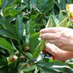 Когда обрезать пионы после цветения