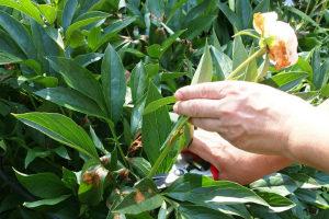 Когда обрезать пионы после цветения Обрезка пионов на зиму