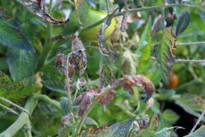 Бурая пятнистость на помидорах в теплице: как бороться Чем обработать Фото