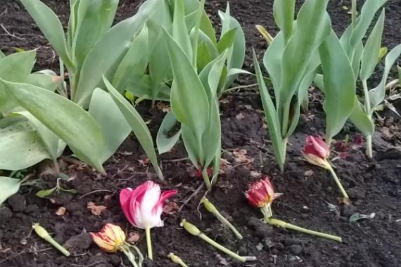 Зачем ежегодно выкапывать тюльпаны после цветения