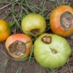 Вершинная гниль томатов в теплице: как бороться
