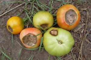 Вершинная гниль томатов в теплице и их лечение Фото Видео