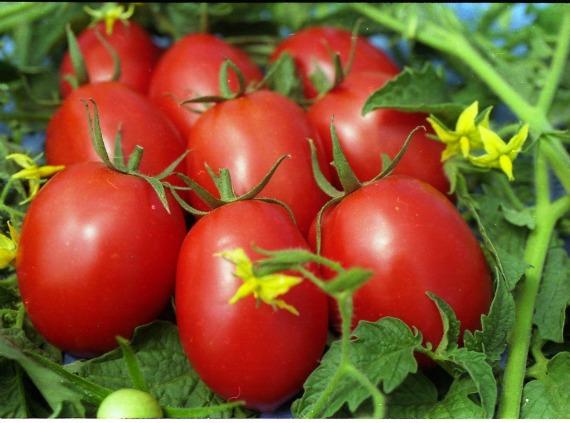 Какие сорта томатов не растрескиваются?