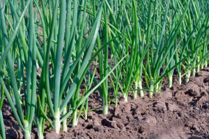 Чем подкормить лук в июле, чтобы был крупный — подкормка для быстрого роста и хорошего урожая