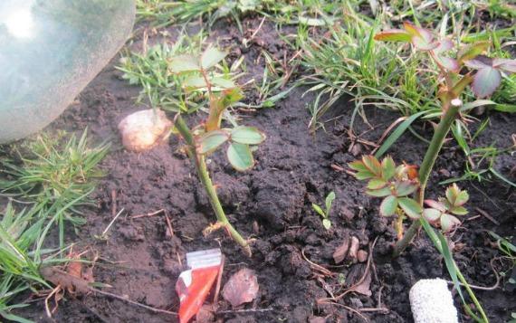 Дальнейший уход за укоренившимися черенками роз в открытом грунте
