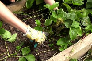 Когда обрезать клубнику после плодоношения и чем подкормить Фото Видео