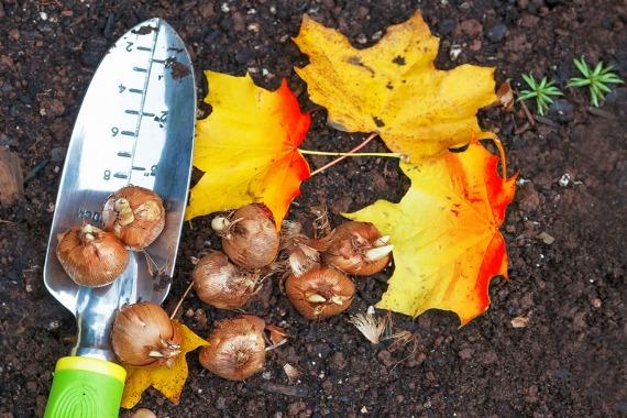 Осенние сроки посадки тюльпанов в открытый грунт