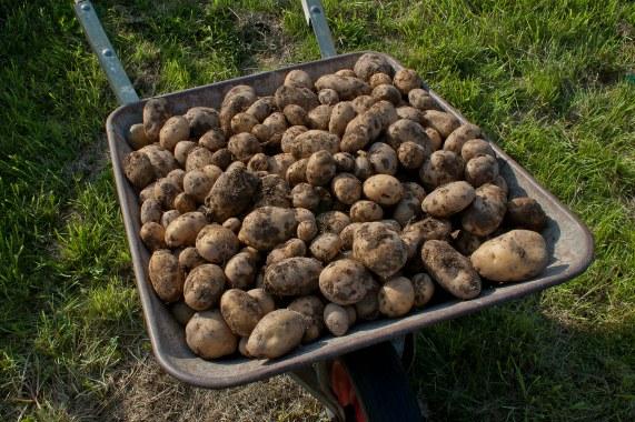 Сроки уборки картофеля в регионах
