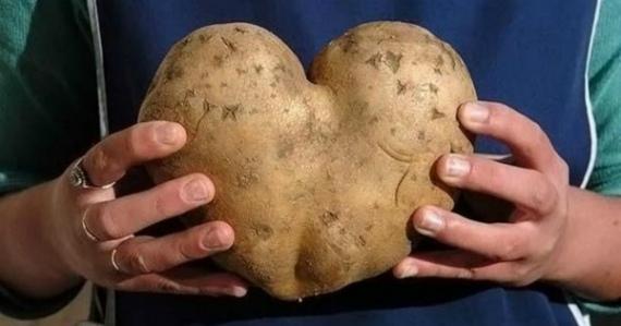Урожай картошки фото