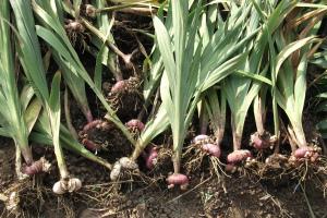 Когда выкапывать луковицы гладиолусов осенью