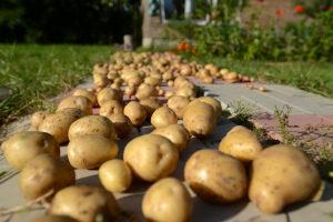 Когда копать картофель На хранение После цветения По лунному календарю Видео