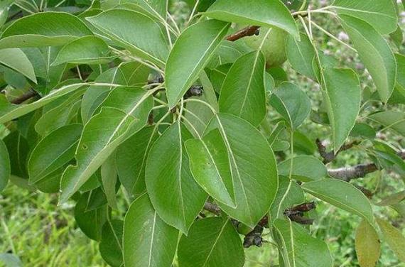 Листья груши - полезные свойства
