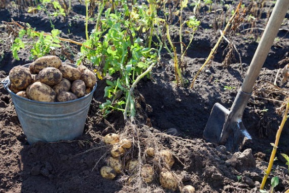 Как понять, что картофель созрел и готов к уборке