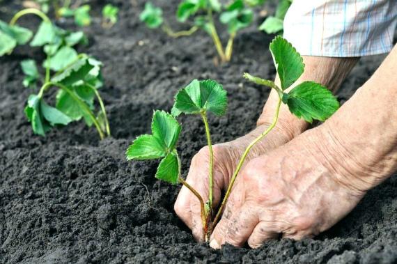 Когда сажать клубнику осенью: сроки