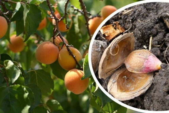 Когда сажать косточки абрикоса весной или осенью
