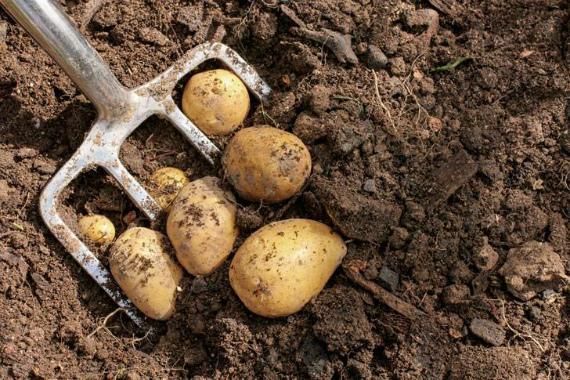 Когда выкапывать картофель на хранение в 2019 году по Лунному календарю