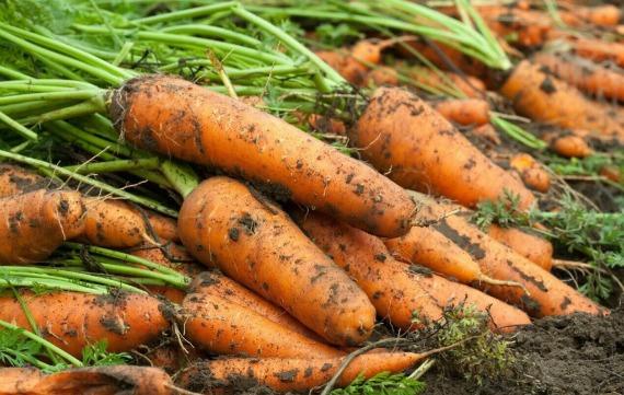 Когда убирать морковь с грядки в регионах