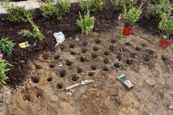 Подготовительные работы перед посадкой тюльпанов