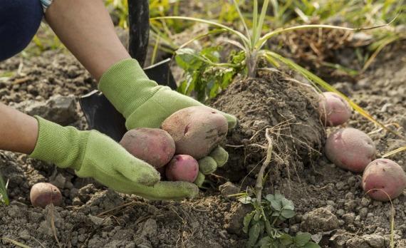 Правила уборки картофеля