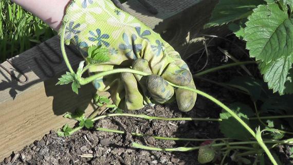 Лучшее время для размножения усами садовой клубники