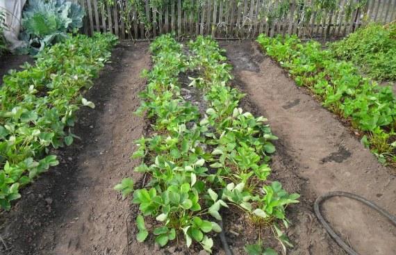 Чем удобрять клубнику осенью, чтобы был хороший урожай на следующий год
